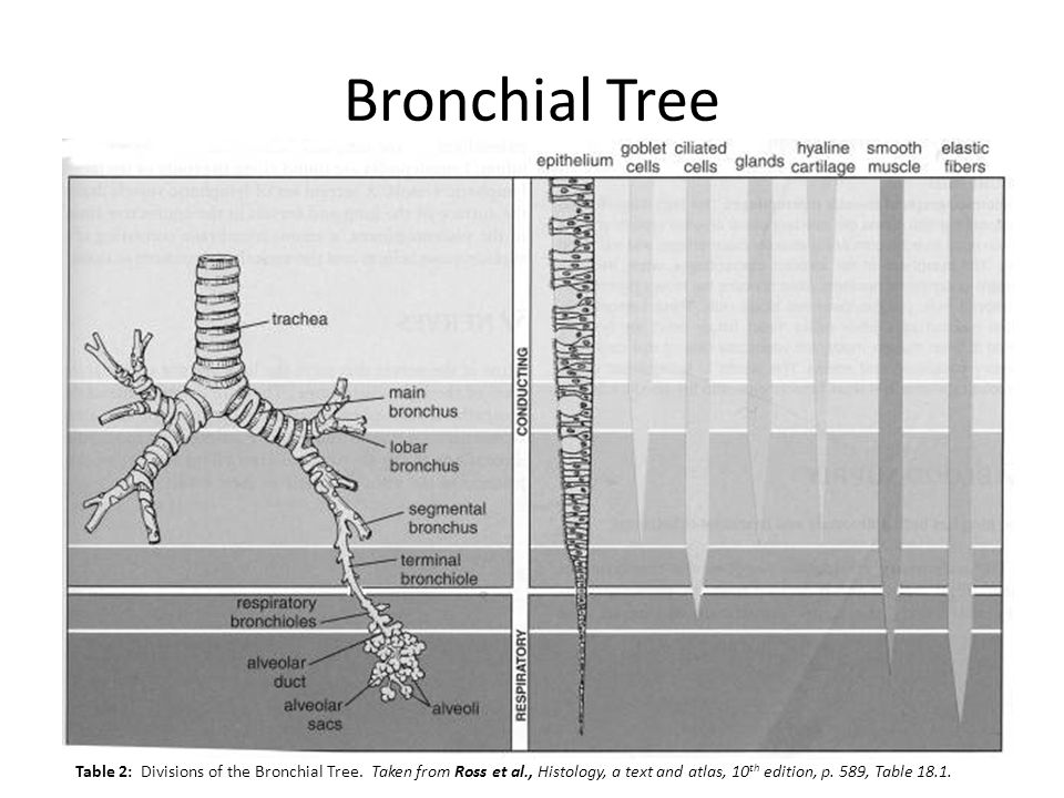 Bronchial Tree Table 2: Divisions of the Bronchial Tree. Taken from Ross et al., Histology, a text and atlas, 10th edition, p.