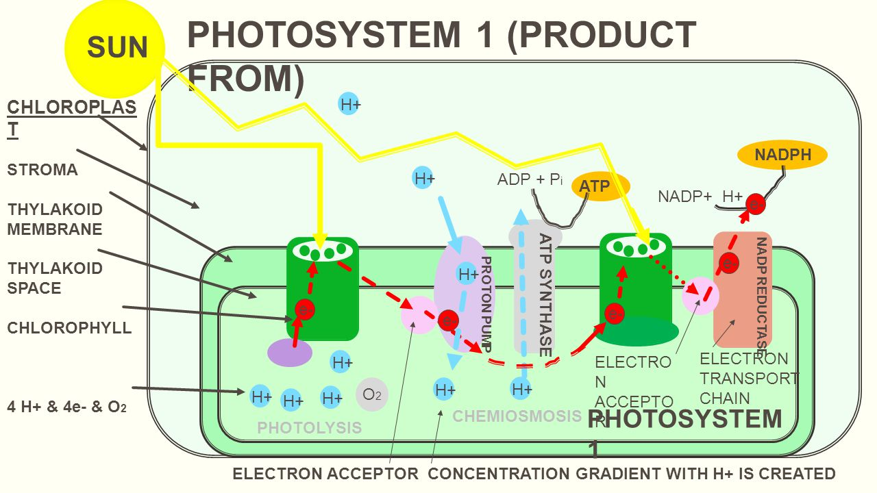 PHOTOSYSTEM 1 (PRODUCT FROM)