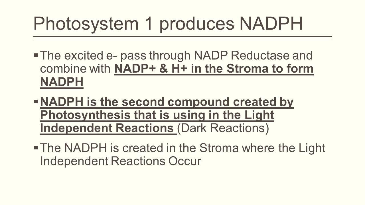 Photosystem 1 produces NADPH