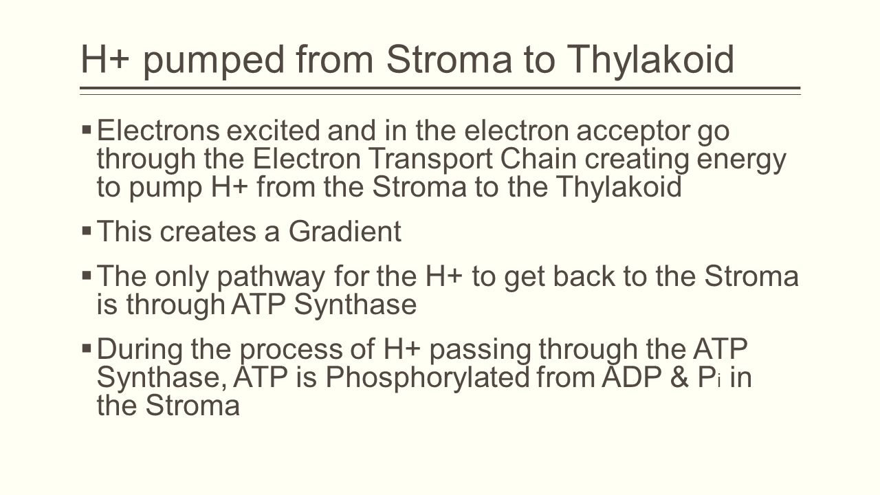 H+ pumped from Stroma to Thylakoid