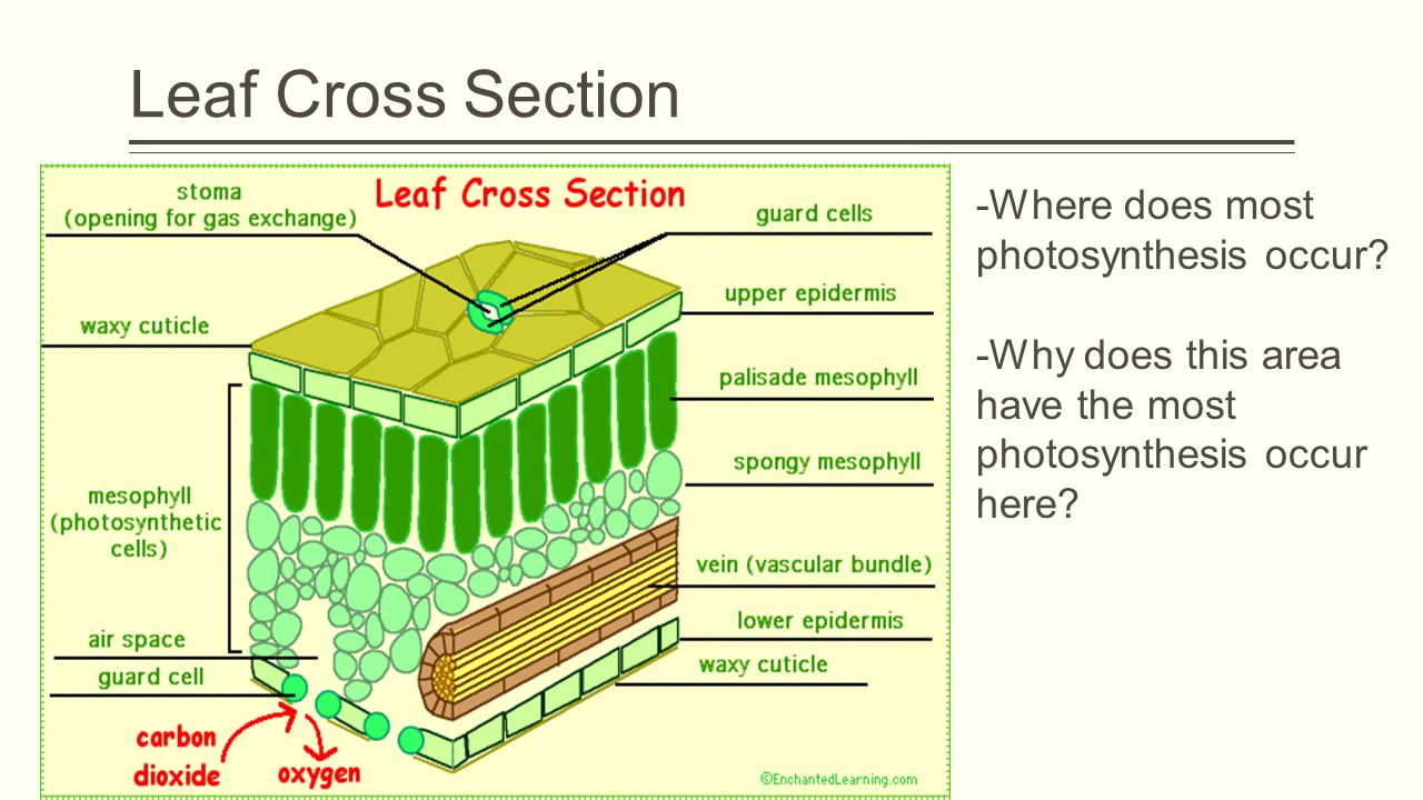 Leaf Cross Section -Where does most photosynthesis occur