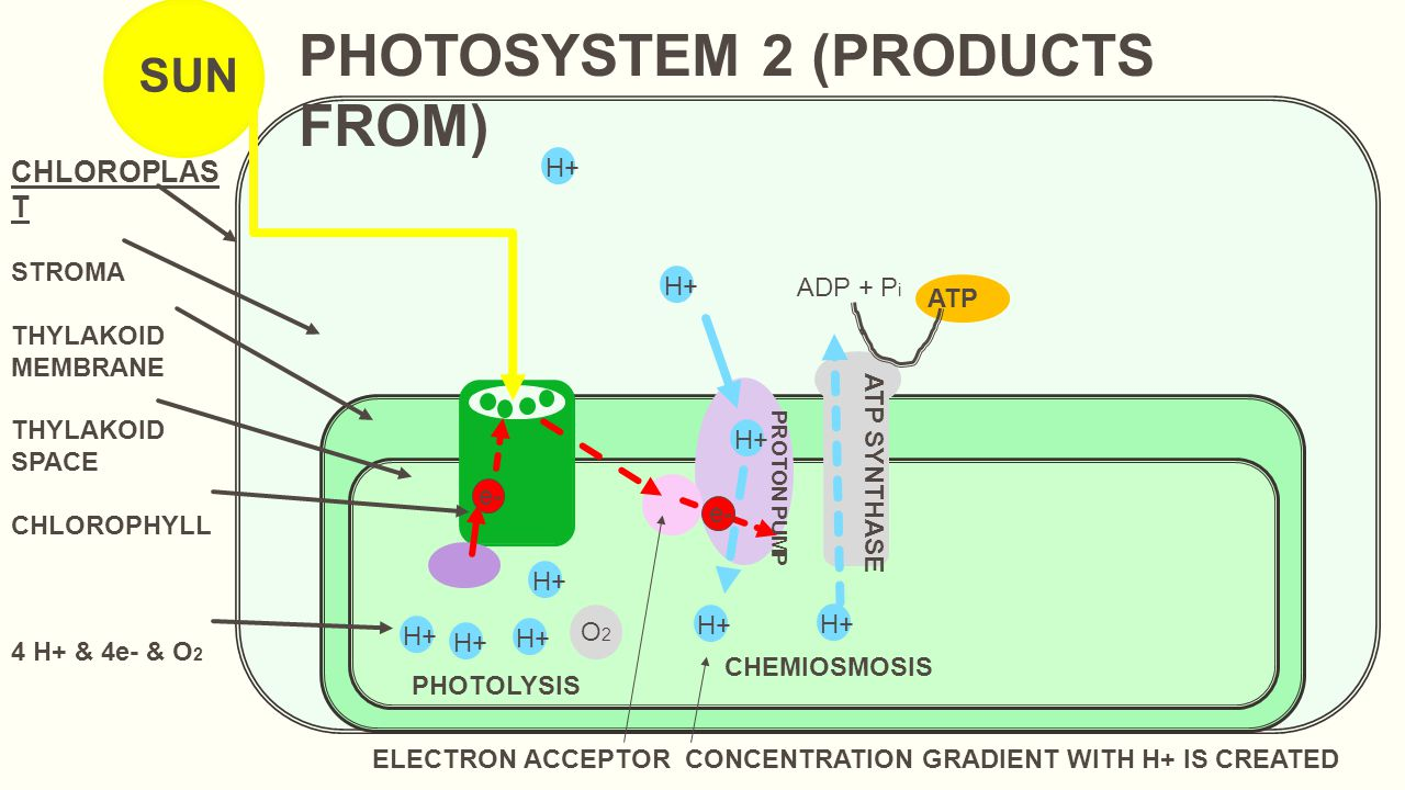 Photosynthesis light dependent reactions light reactions ppt 4 photosystem pooptronica Choice Image