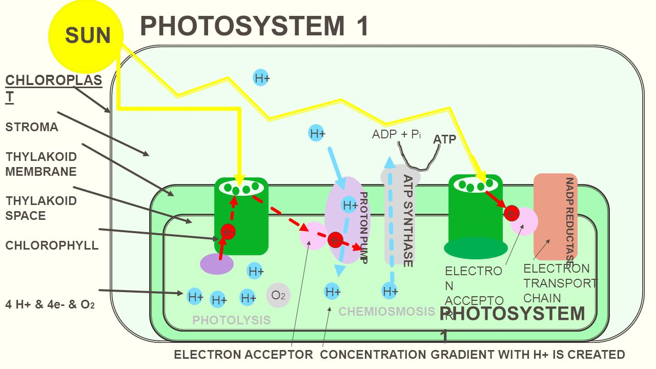 BACTERIAL PHOTOSYNTHESIS - Photobiology