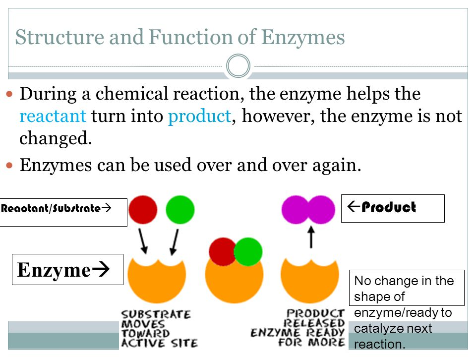 Structure and Function of Enzymes