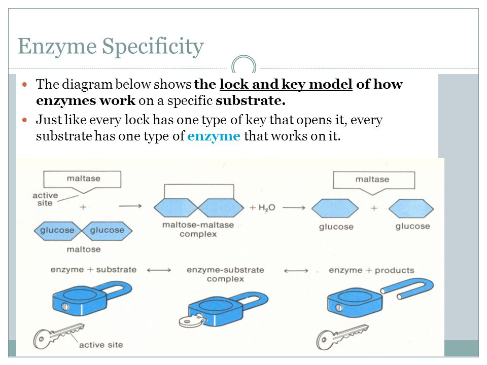 Enzyme Specificity The diagram below shows the lock and key model of how enzymes work on a specific substrate.