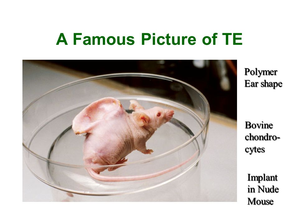A Famous Picture of TE Polymer Ear shape Bovine chondro-cytes