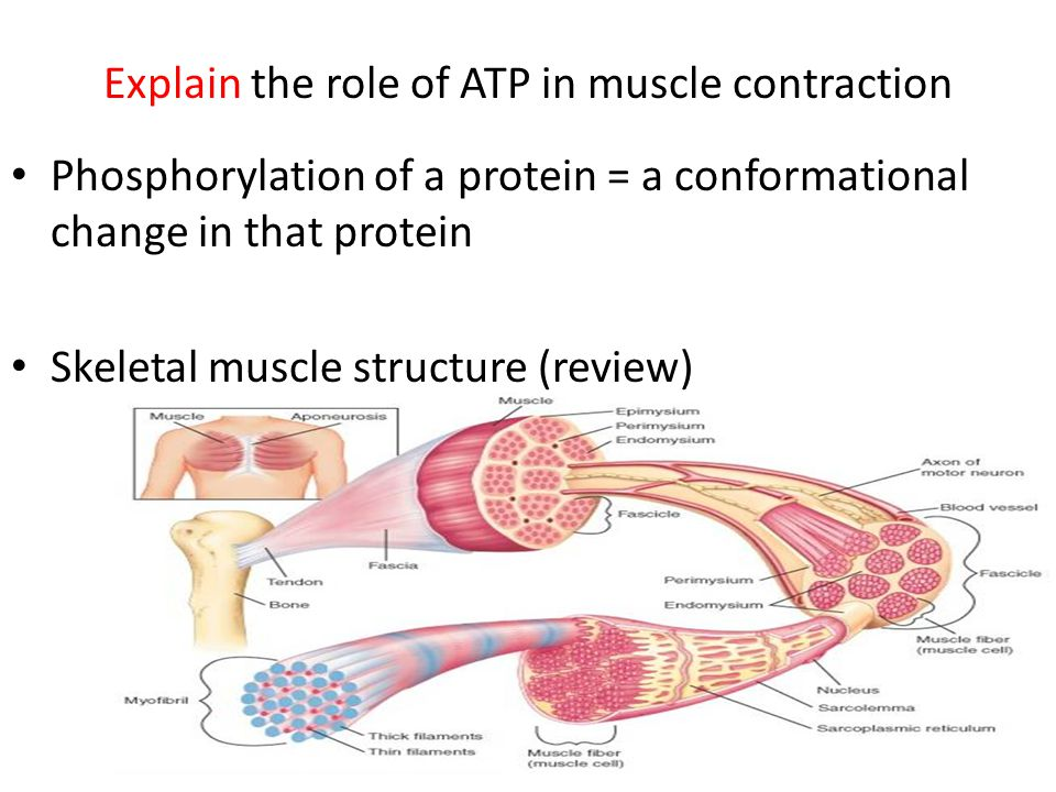 Explain the role of ATP in muscle contraction