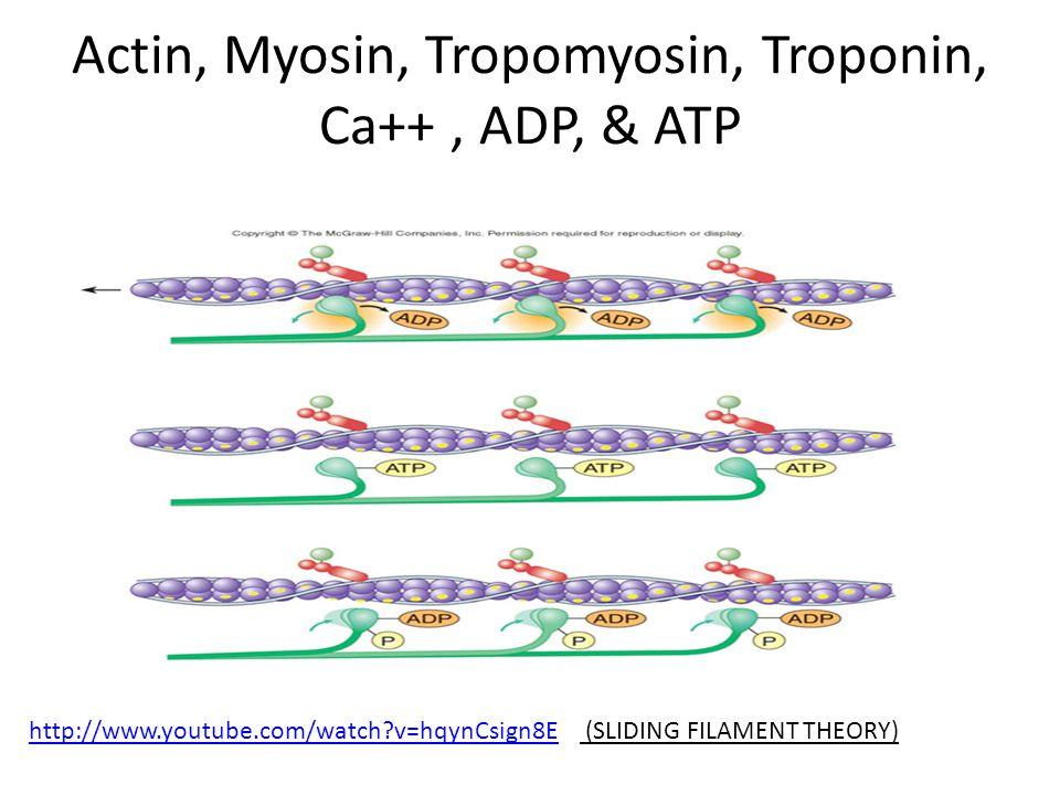 Actin, Myosin, Tropomyosin, Troponin, Ca++ , ADP, & ATP