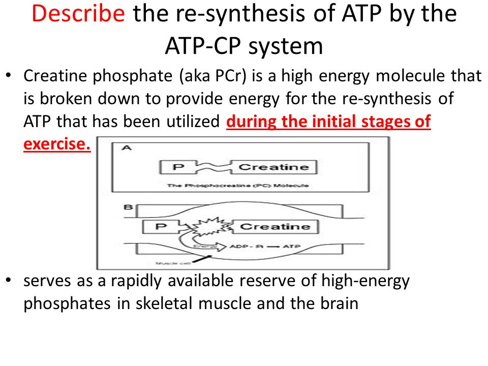 Describe the re-synthesis of ATP by the ATP-CP system