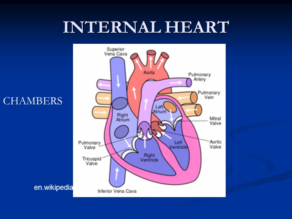 INTERNAL HEART CHAMBERS en.wikipedia.org