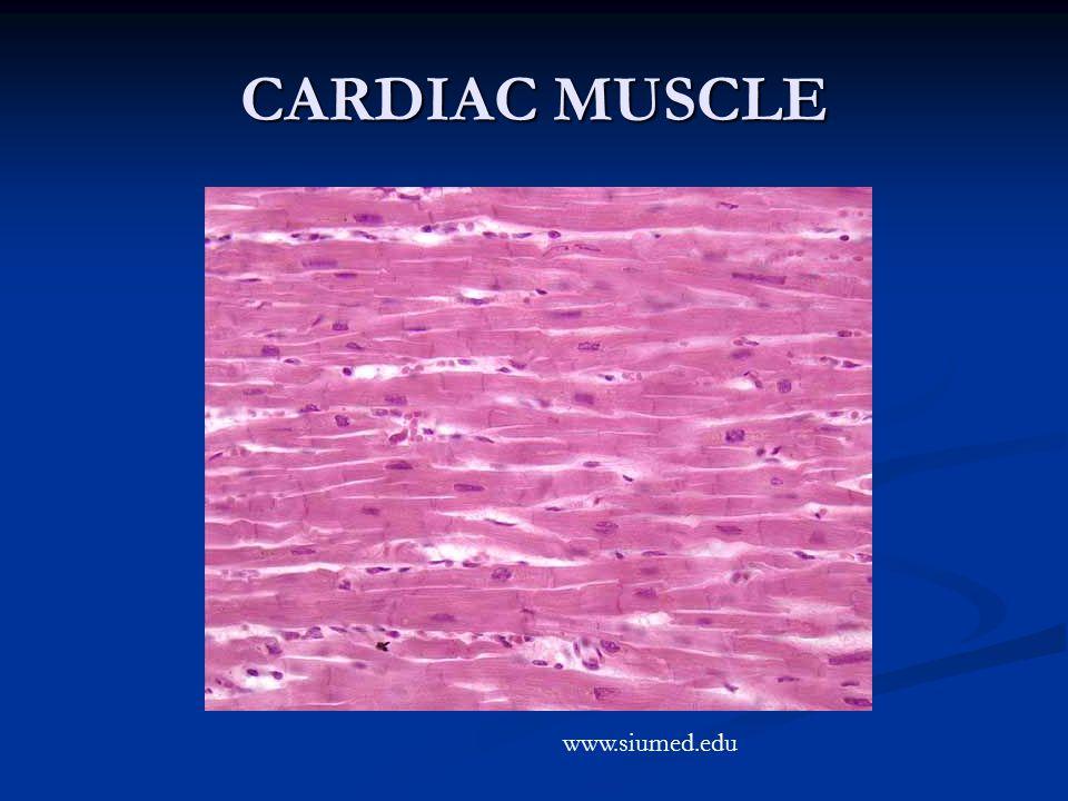 CARDIAC MUSCLE www.siumed.edu