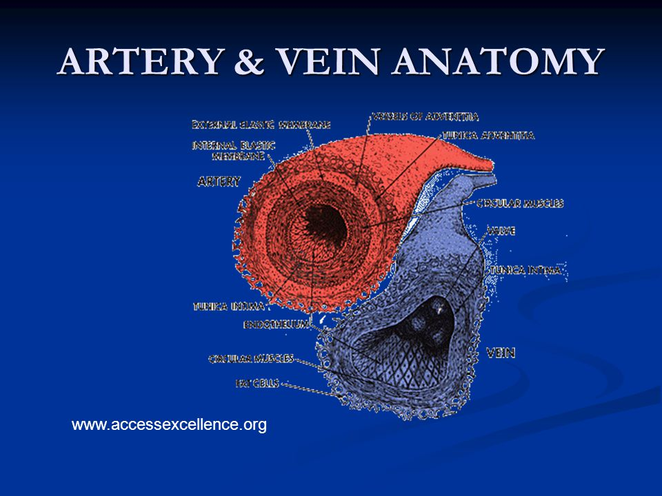 ARTERY & VEIN ANATOMY www.accessexcellence.org