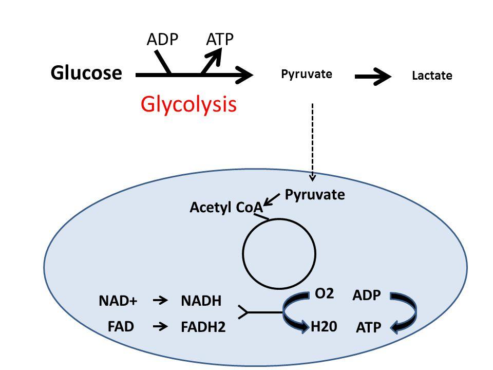 Glycolysis Glucose ADP ATP Pyruvate Acetyl CoA O2 ADP NAD+ NADH FAD