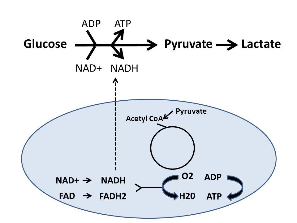 Glucose Pyruvate Lactate ADP ATP NAD+ NADH O2 ADP NAD+ NADH FAD FADH2