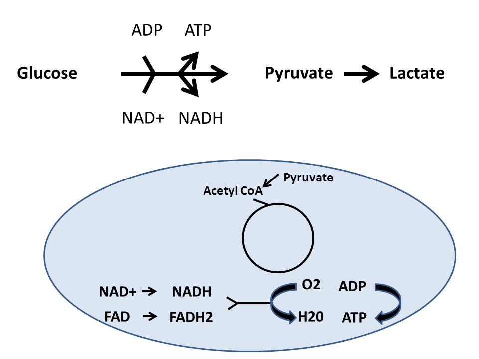 ADP ATP Glucose Pyruvate Lactate NAD+ NADH O2 ADP NAD+ NADH FAD FADH2