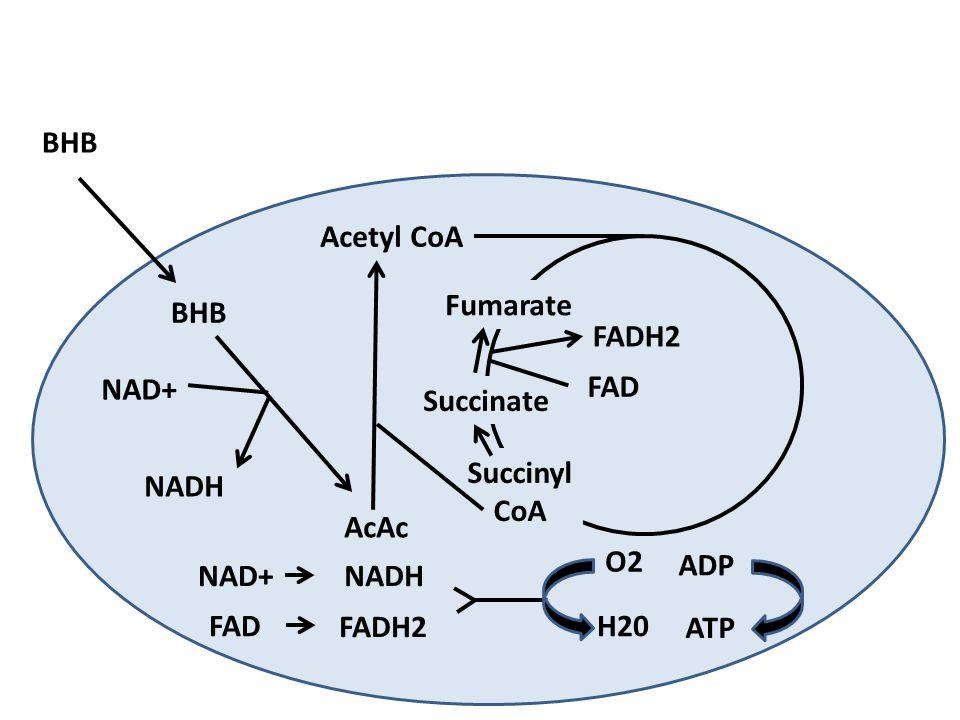 BHB Acetyl CoA. Fumarate. BHB. FADH2. NAD+ FAD. Succinate. Succinyl. CoA. NADH. AcAc. O2.
