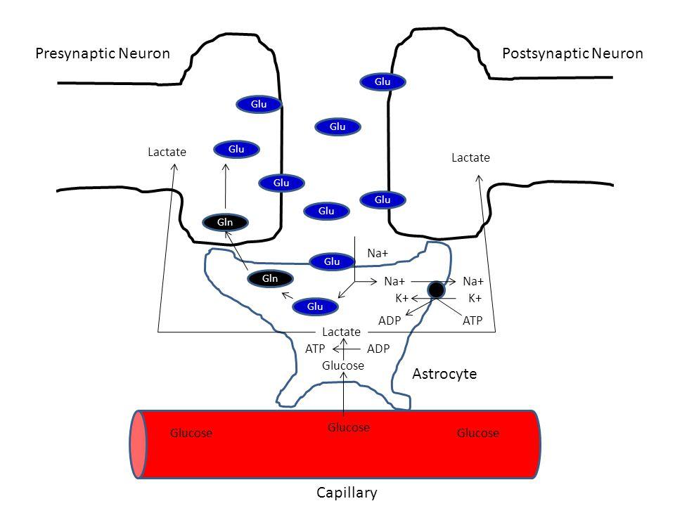 Presynaptic Neuron Postsynaptic Neuron Astrocyte Capillary Lactate
