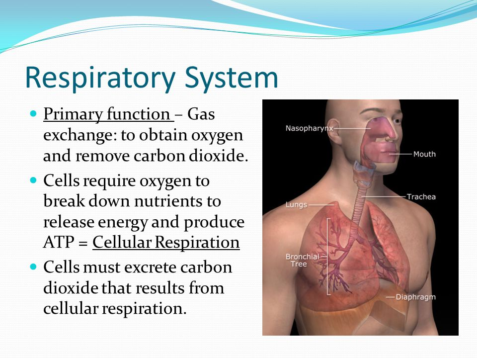Respiratory System Primary function – Gas exchange: to obtain oxygen and remove carbon dioxide.