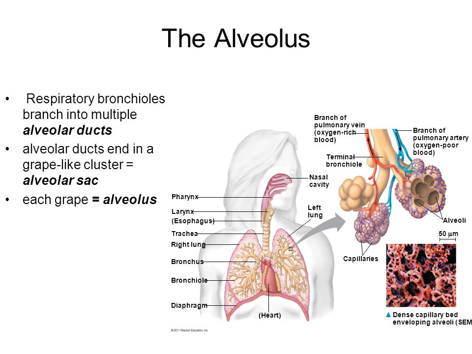 The Alveolus Respiratory bronchioles branch into multiple alveolar ducts. alveolar ducts end in a grape-like cluster = alveolar sac.