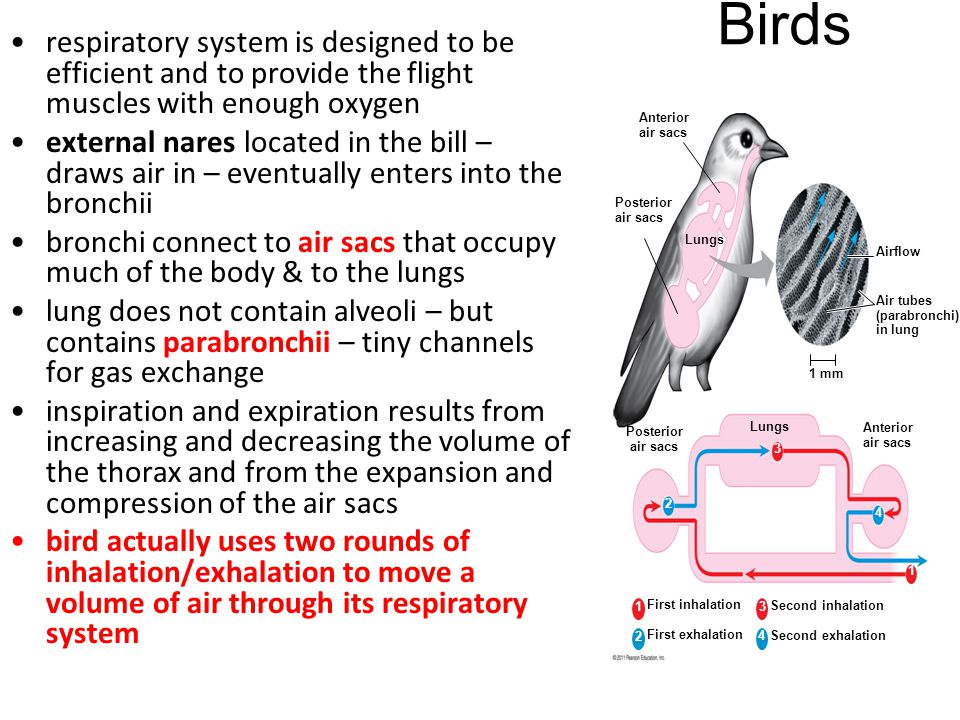 Birds respiratory system is designed to be efficient and to provide the flight muscles with enough oxygen.