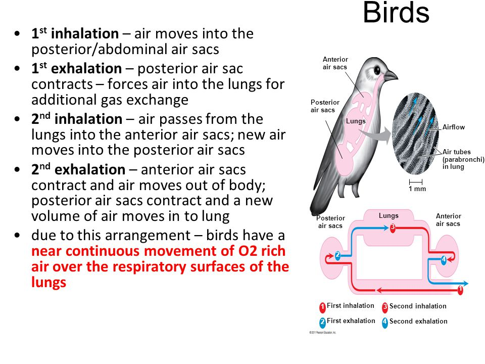 Birds 1st inhalation – air moves into the posterior/abdominal air sacs
