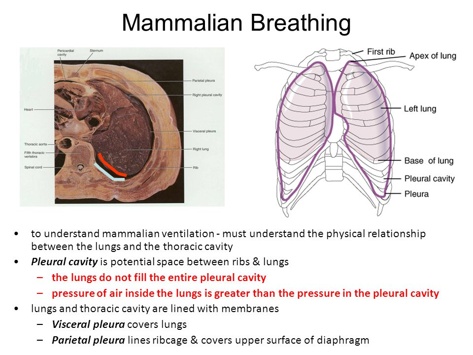 Mammalian Breathing to understand mammalian ventilation - must understand the physical relationship between the lungs and the thoracic cavity.