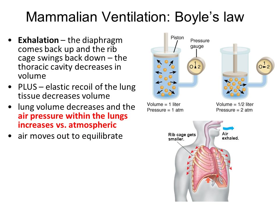Mammalian Ventilation: Boyle's law