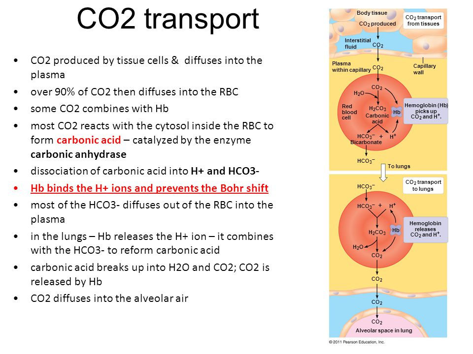 CO2 transport CO2 produced by tissue cells & diffuses into the plasma