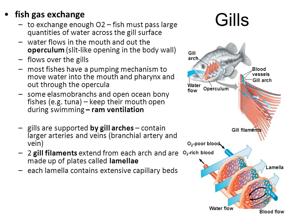Gills fish gas exchange