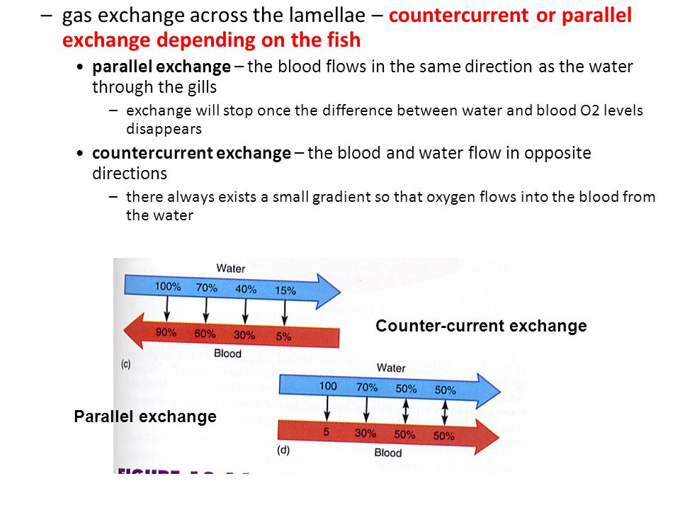 gas exchange across the lamellae – countercurrent or parallel exchange depending on the fish