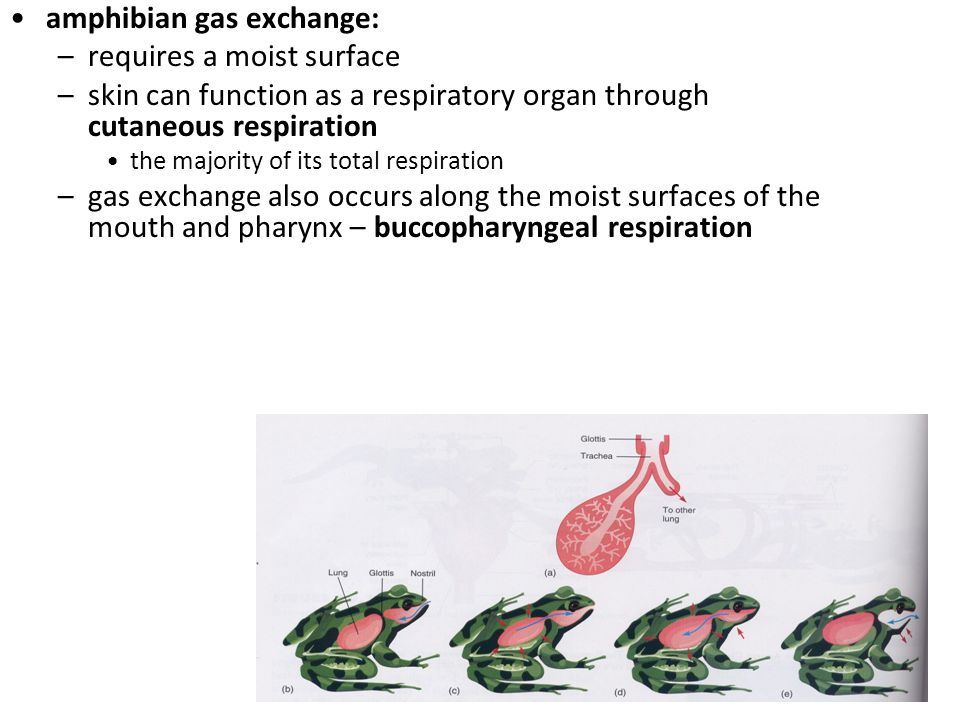 amphibian gas exchange: requires a moist surface