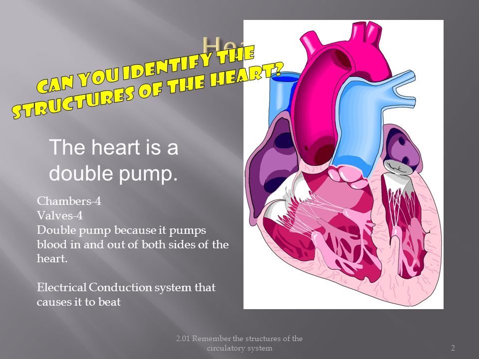 Heart Can you identify the structures of the heart The heart is a