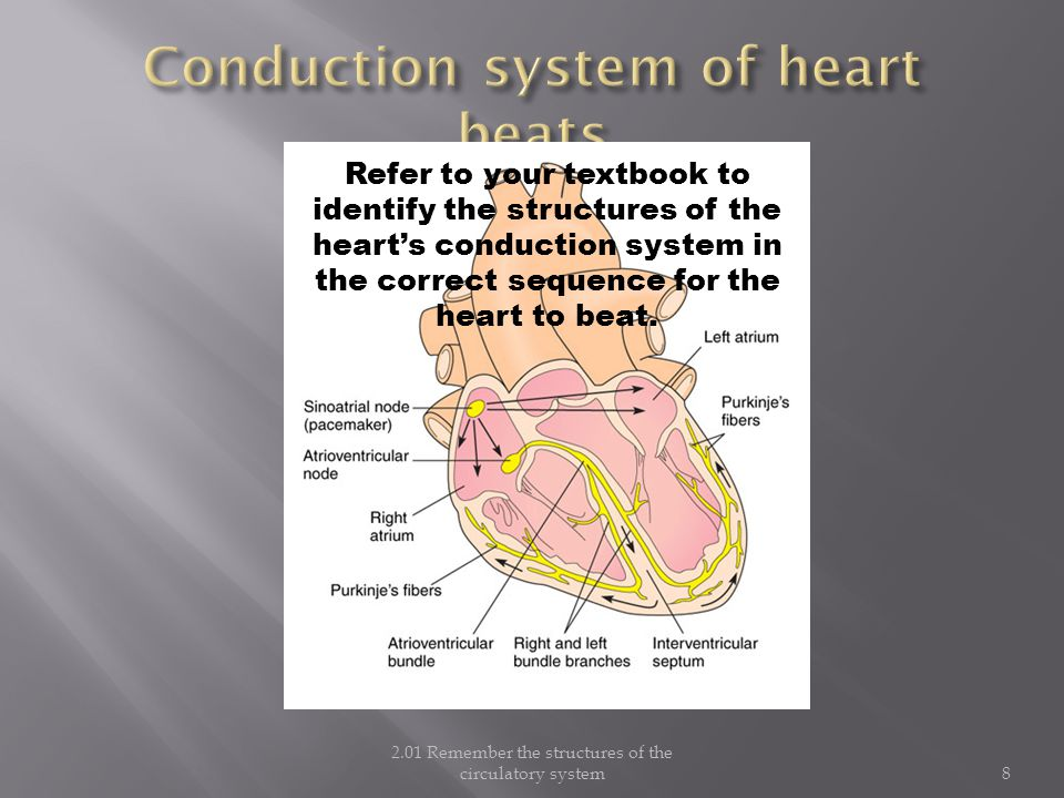 Conduction system of heart beats