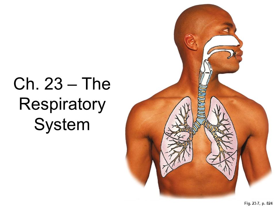 Ch. 23 – The Respiratory System