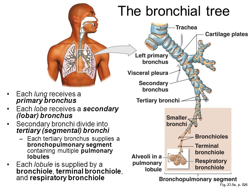The bronchial tree Each lung receives a primary bronchus