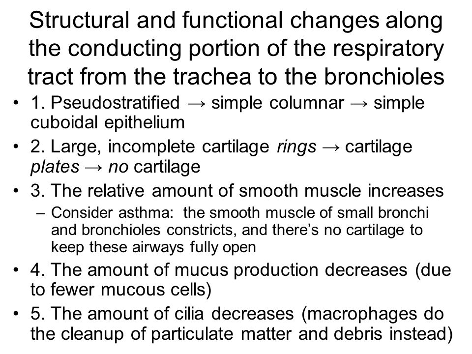 Structural and functional changes along the conducting portion of the respiratory tract from the trachea to the bronchioles