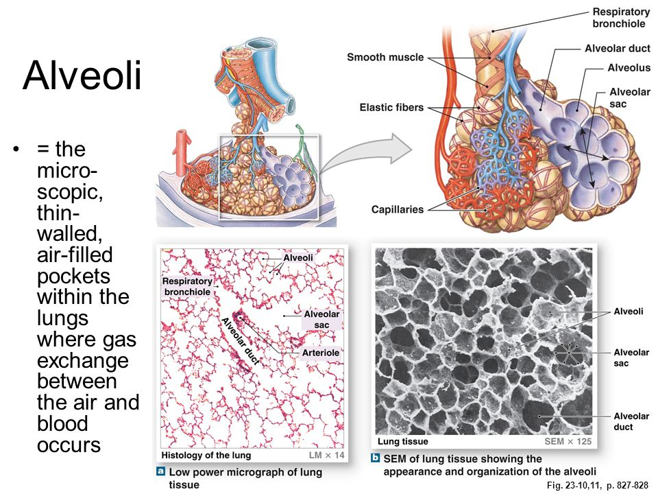 Alveoli = the micro-scopic, thin-walled, air-filled pockets within the lungs where gas exchange between the air and blood occurs.