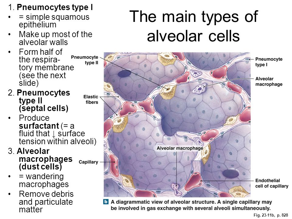 The main types of alveolar cells