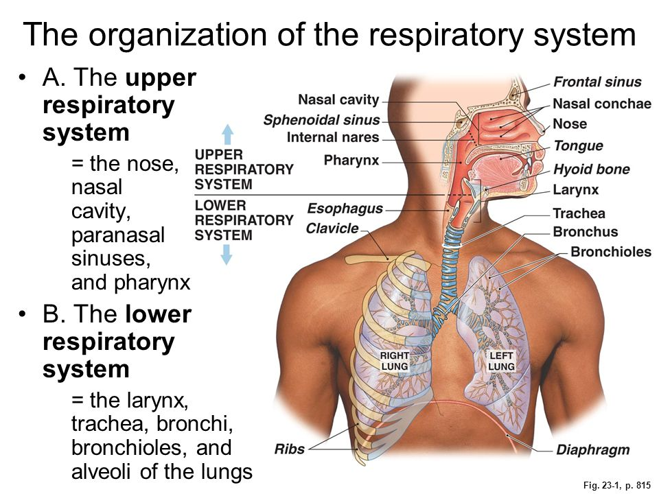 The organization of the respiratory system