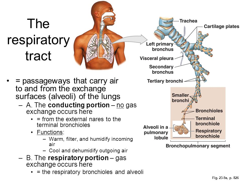 The respiratory tract = passageways that carry air to and from the exchange surfaces (alveoli) of the lungs.