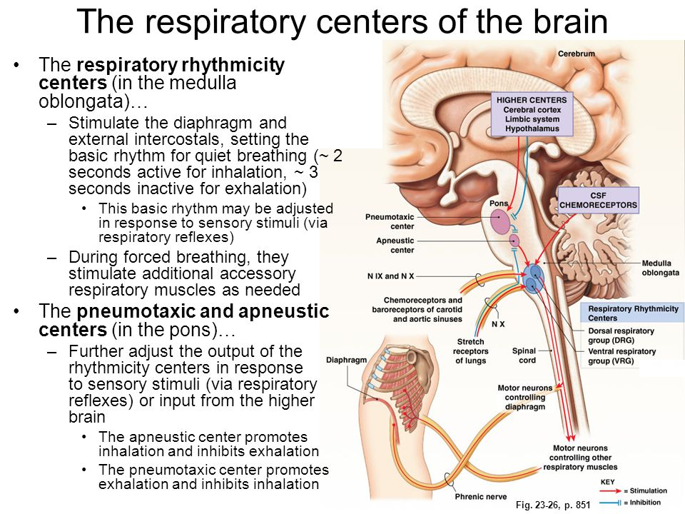 The respiratory centers of the brain
