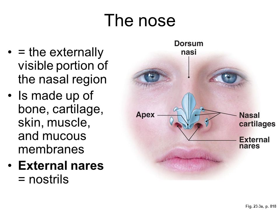 The nose = the externally visible portion of the nasal region