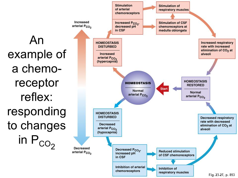 An example of a chemo-receptor reflex: responding to changes in PCO2