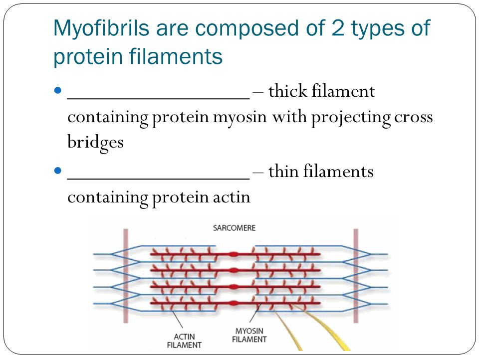 Myofibrils are composed of 2 types of protein filaments