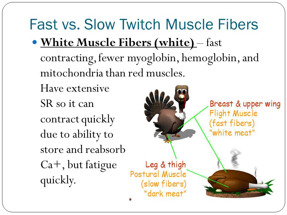 Fast vs. Slow Twitch Muscle Fibers