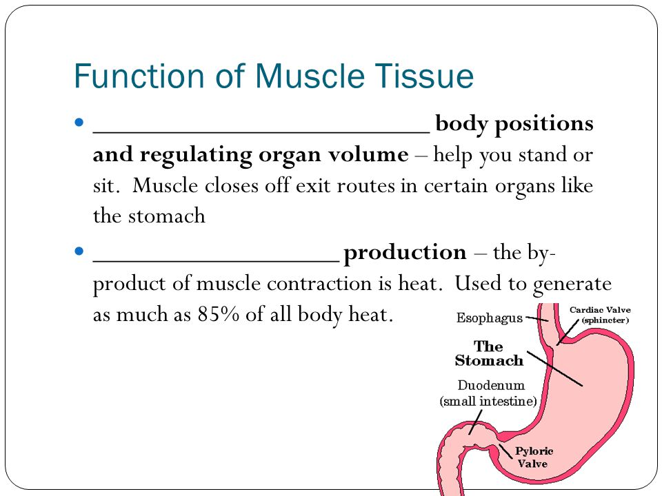 Function of Muscle Tissue