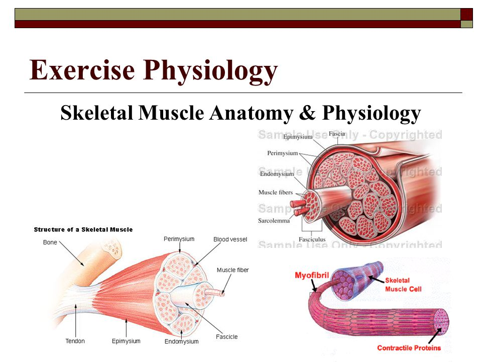 Skeletal Muscle Anatomy & Physiology