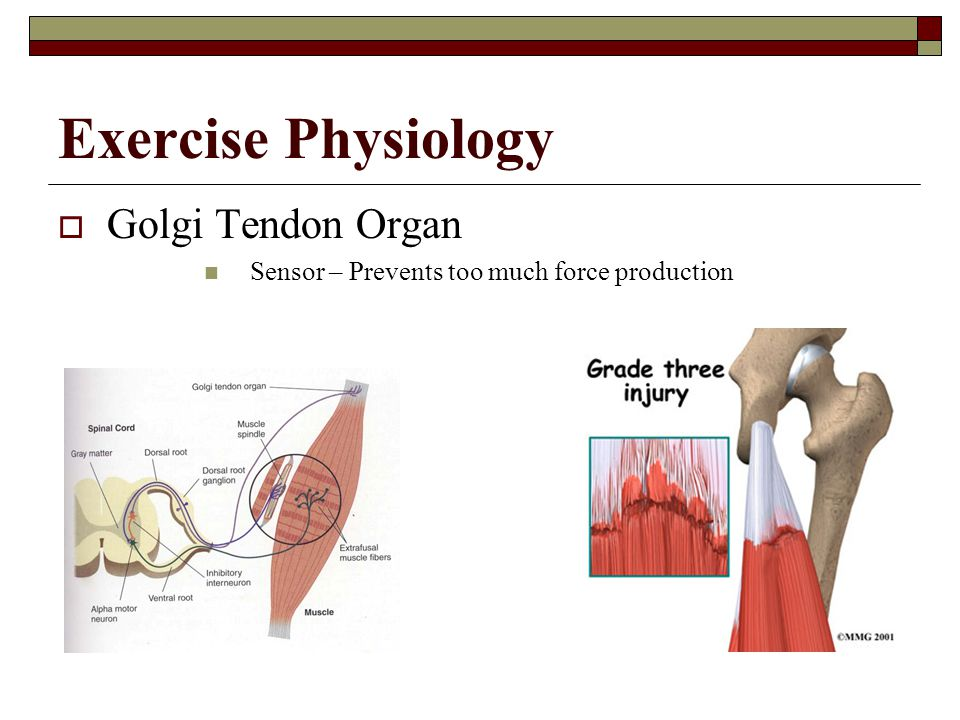 Exercise Physiology Golgi Tendon Organ
