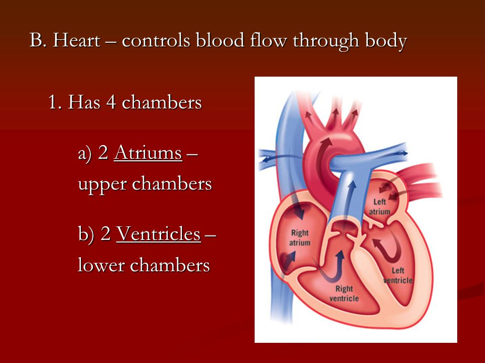 B. Heart – controls blood flow through body