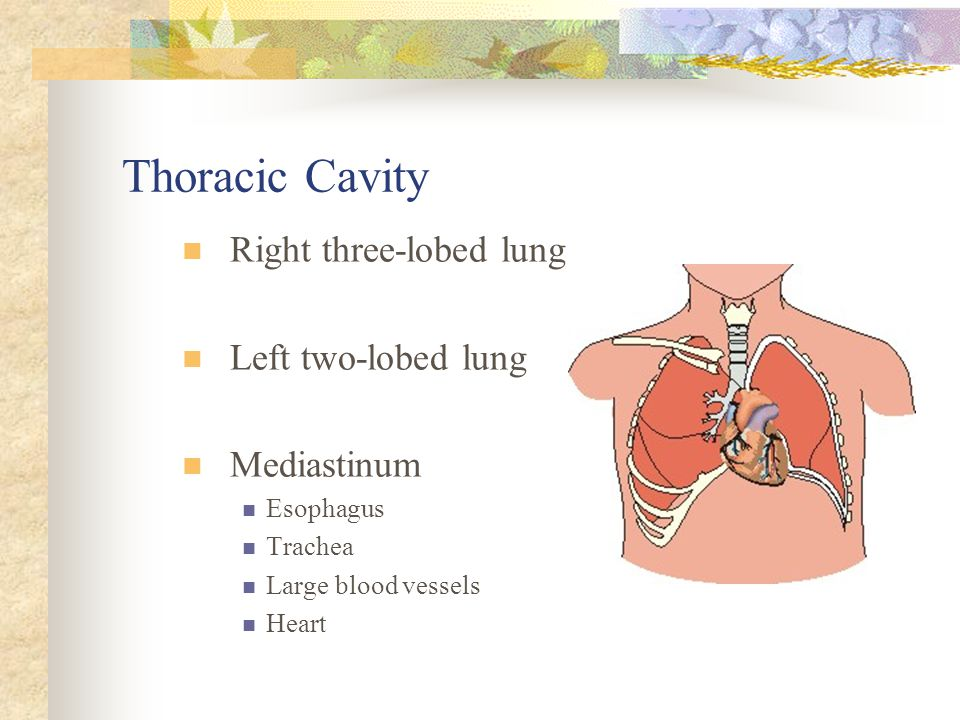 Thoracic Cavity Right three-lobed lung Left two-lobed lung Mediastinum